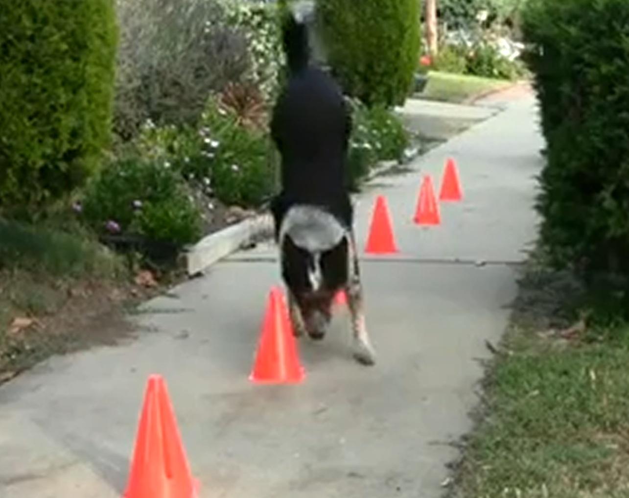 Jumpy este unul dintre cei mai inteligenti caini din lume