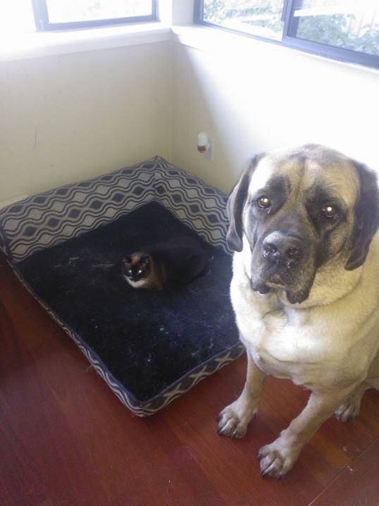Nici cei mai mari caini nu se pot pune cu felinele
