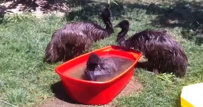 Pasarile Emu, care au fost