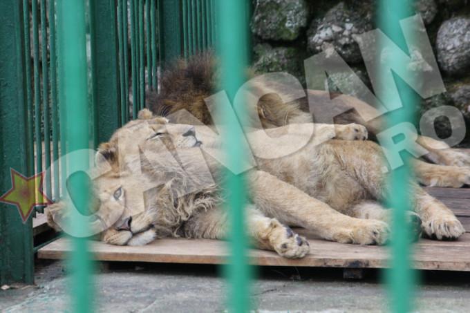 Leii au ajuns la Zoo