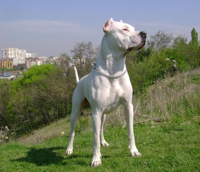 Dogul argentinian se luptă cu animalele sălbatice