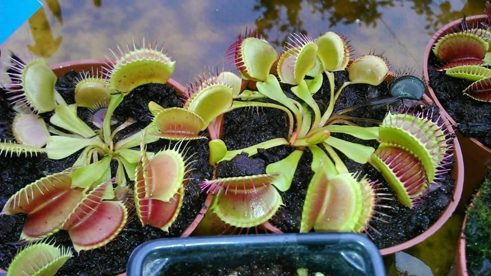 Colecţia de plante carnivore a lui Adrian este impresionantă