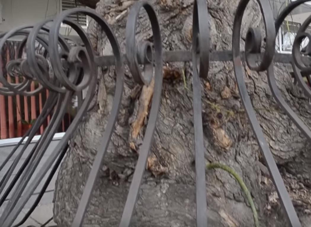 Copacul este protejat de un gard metalic
