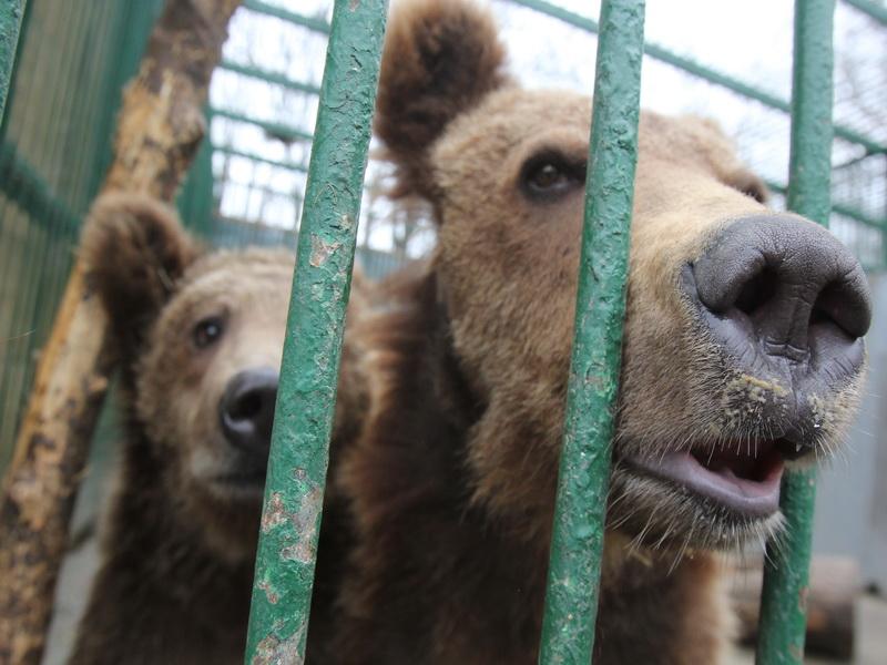 Spatiu. Ursii lui Nutu vor avea la dispozitie un tarc de 8.000 de metri patrati