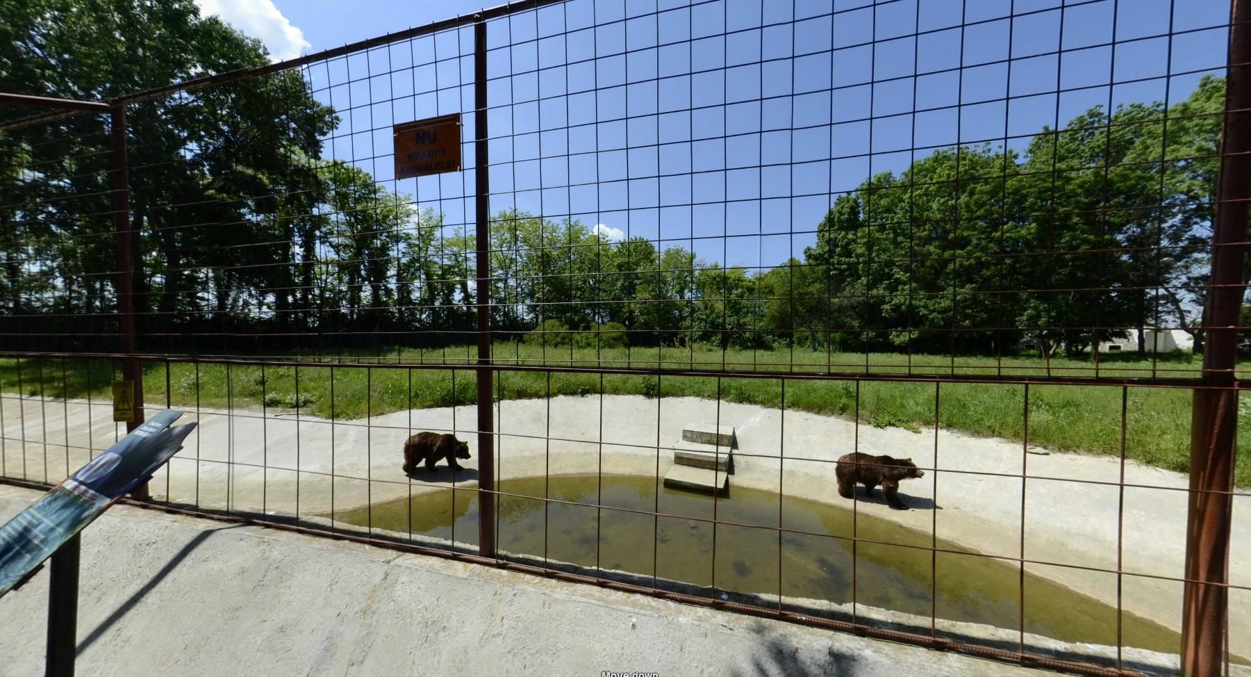 Ursii lui Nutu se plimba linistiti in spatiul pe care il au la dispozitie