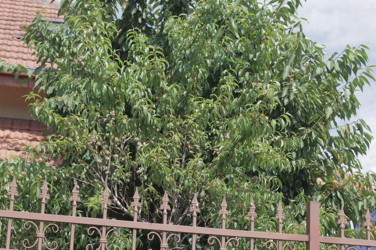 Pomii fructiferi din curtea regretatului pilot sunt pline de fructe