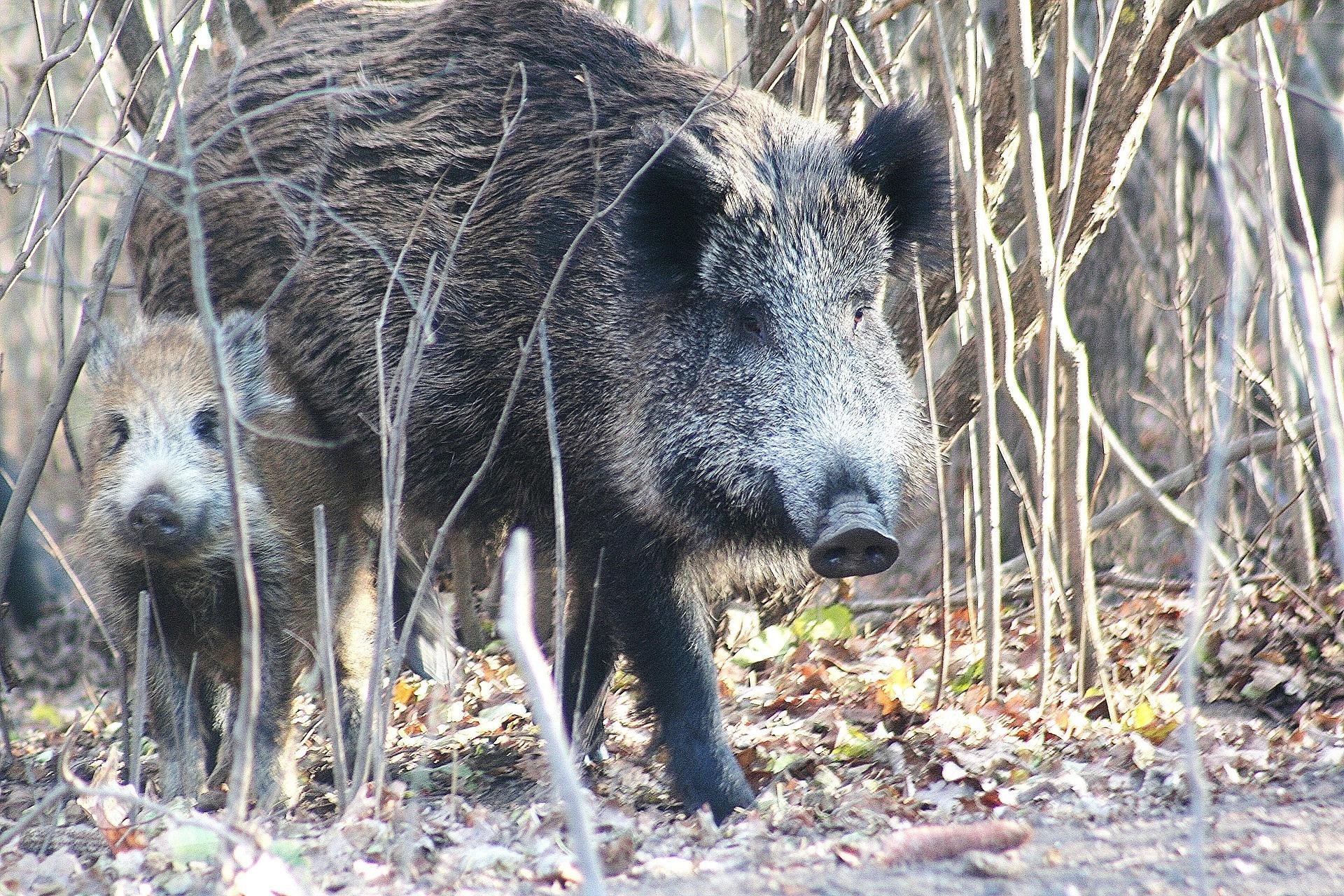 Alertă în Vaslui! Pestă porcină africană, descoperită la mistreții din două fonduri de vânătoare - Cancan.ro