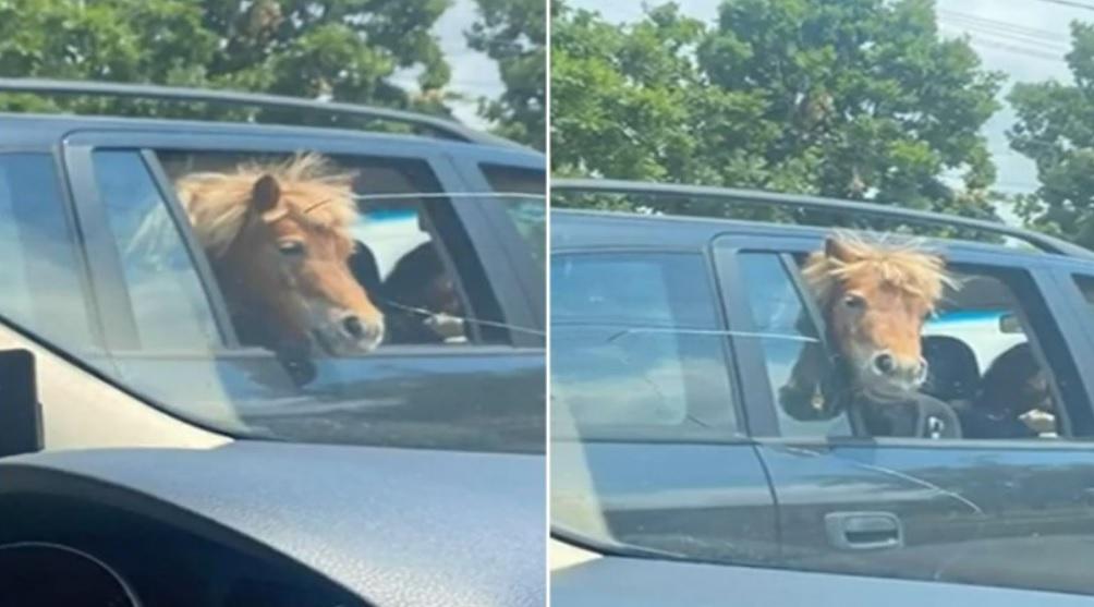 Să vezi și să nu crezi! Un ponei a fost plimbat pe bancheta din spate a mașinii, alături de doi copii